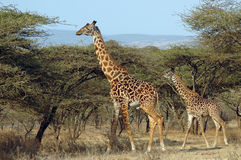 Giraffa del bambino e della madre fra gli alberi dell'acacia Fotografie Stock