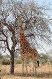 Giraffa del deserto che mangia dall'albero con la linguetta Immagine Stock
