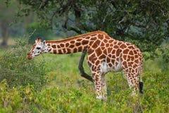 Giraffa del Rotschild Immagini Stock Libere da Diritti