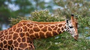 Giraffa del Rotschild Fotografia Stock Libera da Diritti