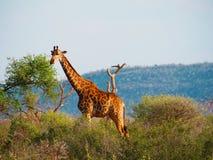 Giraffa del sud Fotografie Stock