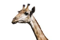 Giraffa dell'isolato Immagini Stock Libere da Diritti