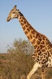 Giraffa di camminata fotografie stock libere da diritti