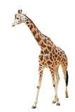 Giraffa di camminata isolata su bianco Immagini Stock
