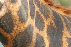 Giraffa di cuoio Immagini Stock