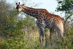 Giraffa di Kruger Immagini Stock