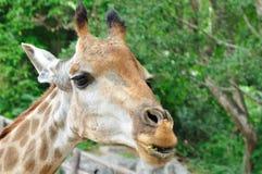 Giraffa di Massai. fotografie stock