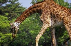 Giraffa di piegamento Immagine Stock