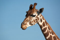 Giraffa di Rothschild Fotografie Stock Libere da Diritti