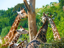 Giraffa di Rothschild (rotschildi di camelopardalis del Giraffa) Immagini Stock Libere da Diritti