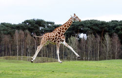 Giraffa di salto Immagine Stock
