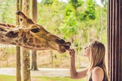 Giraffa di sorveglianza e d'alimentazione della giovane donna felice in zoo Giovane donna felice divertendosi con il parco di saf fotografia stock libera da diritti