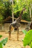 Giraffa diritta Fotografie Stock Libere da Diritti