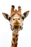 Giraffa divertente fotografia stock