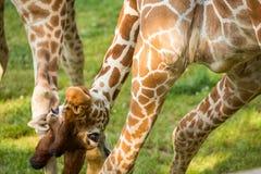 Giraffa divertente allegra Immagini Stock