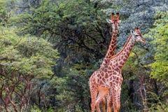 Giraffa do sul do Giraffa do girafa Fotografia de Stock Royalty Free