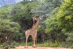 Giraffa do sul do Giraffa do girafa Foto de Stock Royalty Free