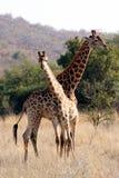 Giraffa due Immagine Stock