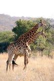 giraffa due in cespuglio africano Immagine Stock