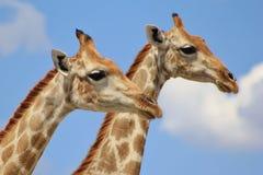 Giraffa - due teste nelle nubi Immagini Stock Libere da Diritti
