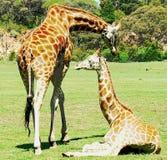 Giraffa e bambino Fotografia Stock