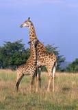 Giraffa e bambino Fotografie Stock Libere da Diritti