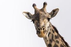 Giraffa e mosche curiose Fotografia Stock Libera da Diritti