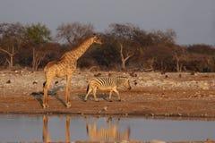 Giraffa e zebra delle pianure immagini stock
