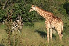 Giraffa e zebre Fotografia Stock Libera da Diritti