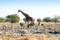 Giraffa e zebre Fotografie Stock