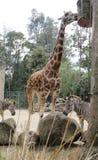 Giraffa e zebre Fotografia Stock