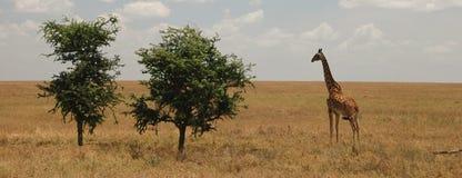 Giraffa ed alberi nella savanna Fotografia Stock Libera da Diritti