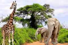 Giraffa ed elefanti Fotografia Stock
