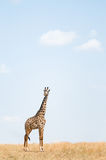 Giraffa felice Fotografie Stock Libere da Diritti