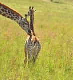 Giraffa femminile in Africa con un vitello Fotografie Stock Libere da Diritti