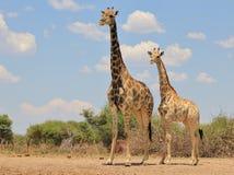 Giraffa - fissando nell'aldilà Fotografie Stock Libere da Diritti