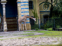 Giraffa in giardini zoologici ed acquario in Berlin Germany Berlin Zoo è lo zoo visitato in Europa, Fotografia Stock Libera da Diritti