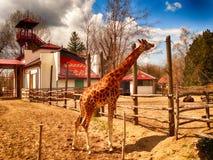 Giraffa in giardino zoologico immagini stock libere da diritti