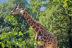 Giraffa in giardino zoologico Berlino, Germania fotografie stock