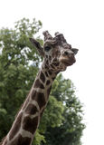 Giraffa Giraffacamelopardalis, typarten Arkivfoton