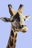 Giraffa - giraffe griff Stock Photo