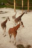 Giraffa Royalty Free Stock Image