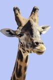 Giraffa - giraffgriff Arkivfoto