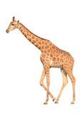 Giraffa isolata Immagine Stock