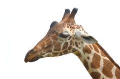 Giraffa isolata fotografia stock