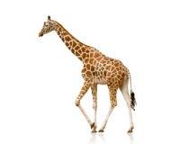 Giraffa isolata su bianco Fotografie Stock