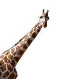 Giraffa isolata su priorità bassa bianca fotografia stock libera da diritti