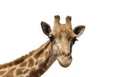 Giraffa isolata su priorità bassa bianca immagini stock