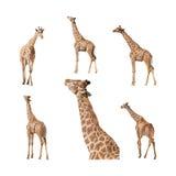 Giraffa isolata su una collezione bianca del fondo Immagine Stock