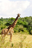 Giraffa (Kenia) Fotografie Stock Libere da Diritti